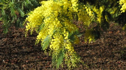 Beautiful-Acacia-Dealbata-Flower-for-iPad-