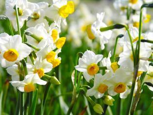 Narcissus